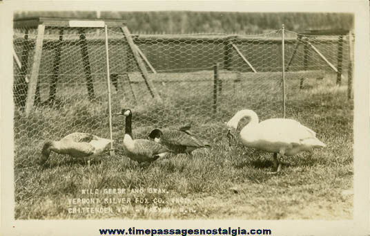 Old Unused Geese & Swan Real Photo Post Card