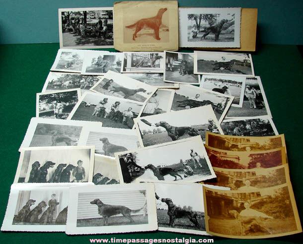 (37) 1940s Irish Setter Show Dog Photographs